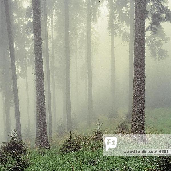 Nadelbäume mit Nebel im Wald bedeckt