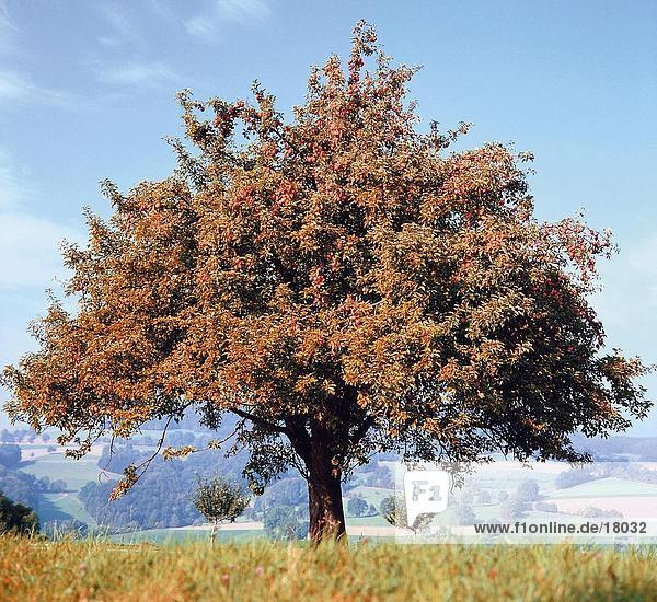 apfelbaum herbst herbstlich steinobst hessen europa. Black Bedroom Furniture Sets. Home Design Ideas