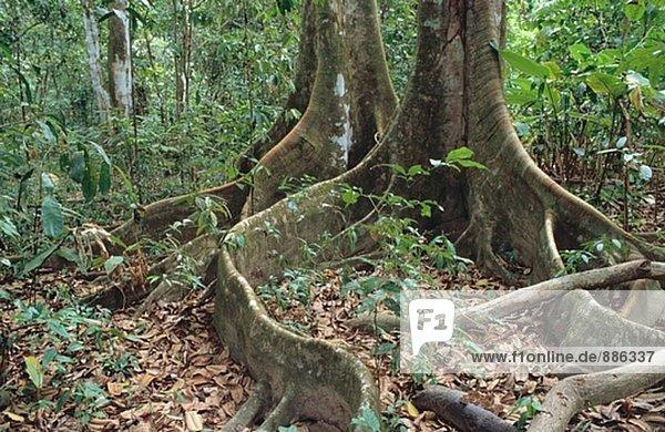 Regenwald baum wurzeln corcovado np costa rica for Boden im regenwald