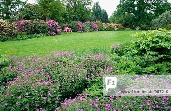 storchschnabel rhododendron geranium sylvaticum birch lilac rhododendron berggarten. Black Bedroom Furniture Sets. Home Design Ideas