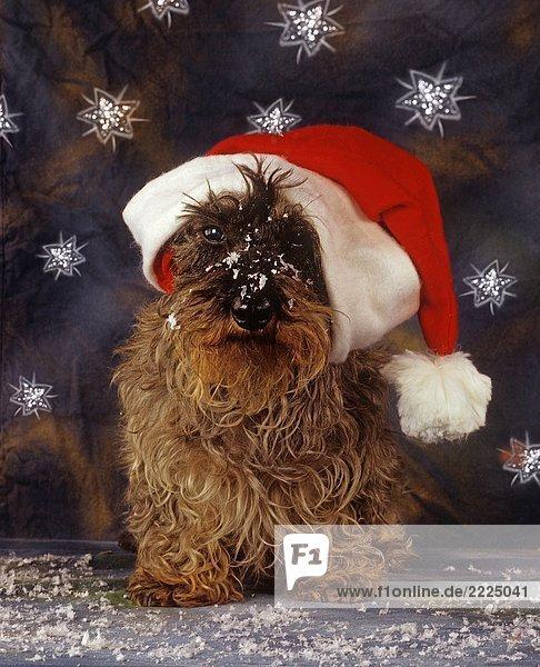 Weihnachten dackel mit nikolausm tze lizenzfreies bild bildagentur f1online 2225041 - Lightbox weihnachten ...