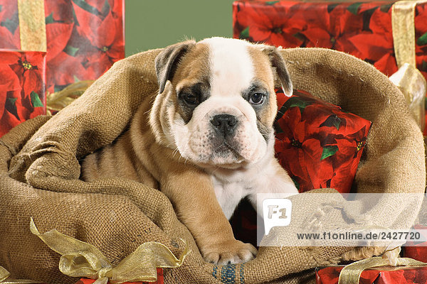 weihnachten englische bulldogge in sack lizenzfreies. Black Bedroom Furniture Sets. Home Design Ideas