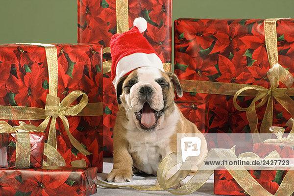 weihnachten englische bulldogge welpe mit nikolausm tze. Black Bedroom Furniture Sets. Home Design Ideas