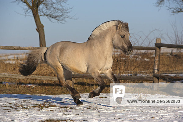 Norwegian fjord horse galloping royalty free image for Fjord agency