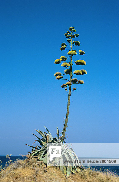 agave americana mit bl ten lizenzfreies bild bildagentur f1online 2804509. Black Bedroom Furniture Sets. Home Design Ideas