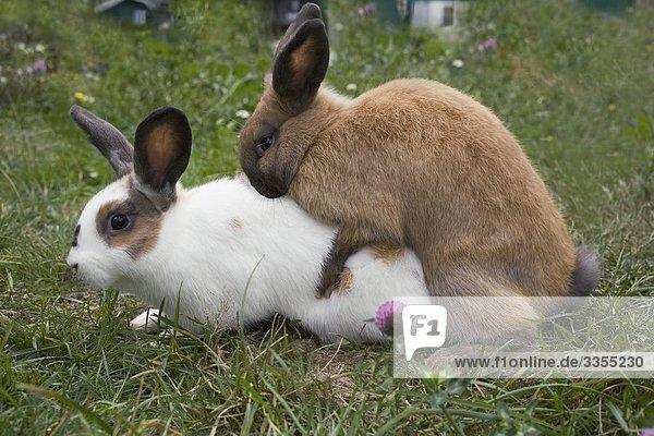 Kaninchen Paarung