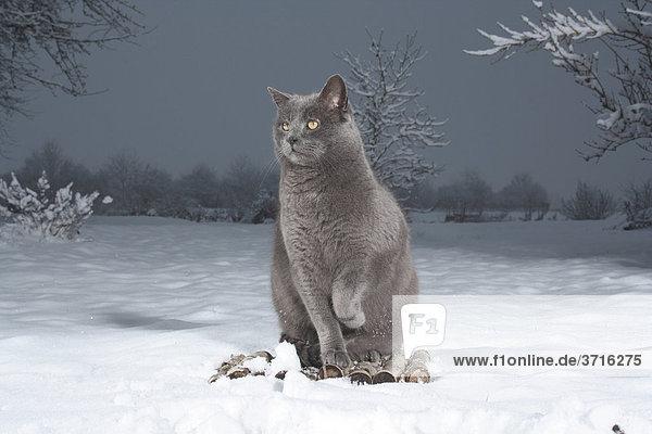graue katze sitzend im schnee hebt pfote. Black Bedroom Furniture Sets. Home Design Ideas