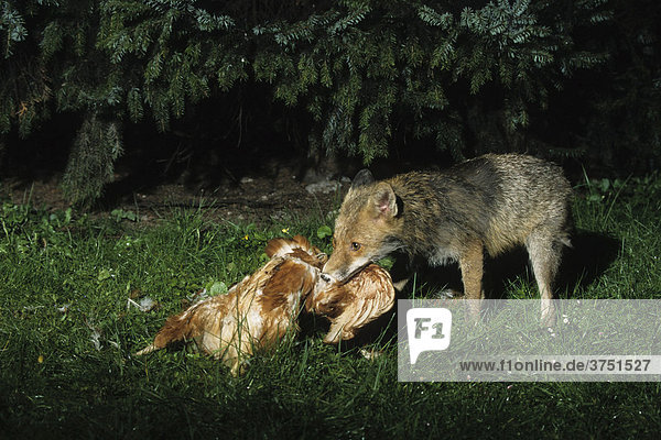 Rotfuchs vulpes vulpes pictures to pin on pinterest