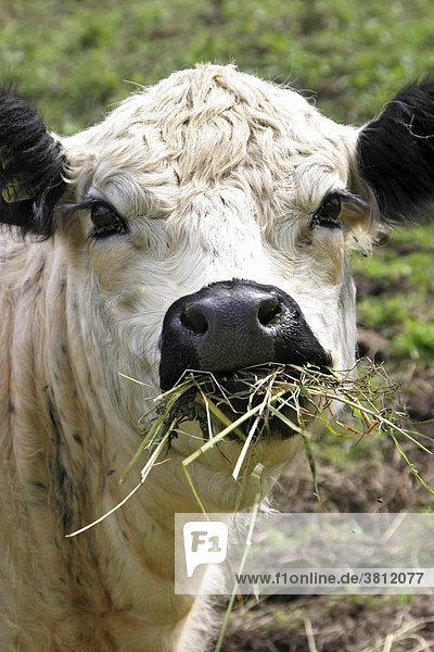 Englische Rinderrassen