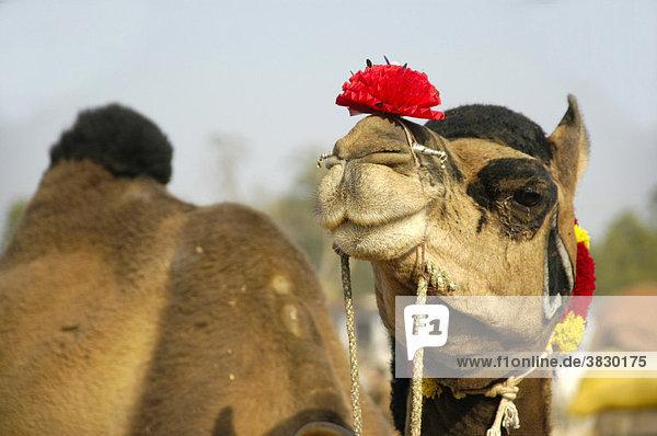 h bsch dekoriertes stolzes kamel mit roter bl te auf der schnauze auf dem markt von karauli. Black Bedroom Furniture Sets. Home Design Ideas
