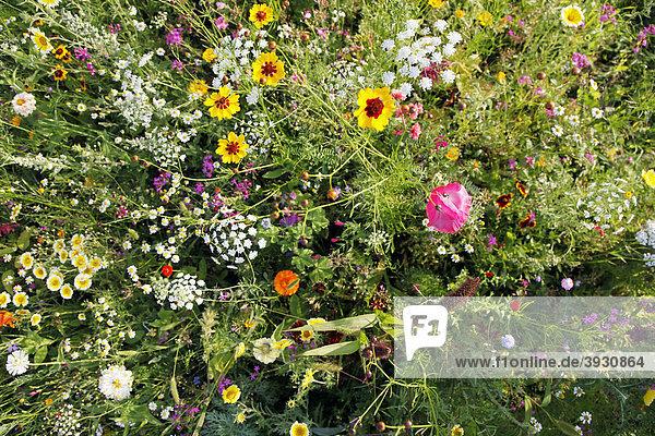 blumenwiese mit vielen wildblumen in voller pracht lizenzpflichtiges bild bildagentur. Black Bedroom Furniture Sets. Home Design Ideas