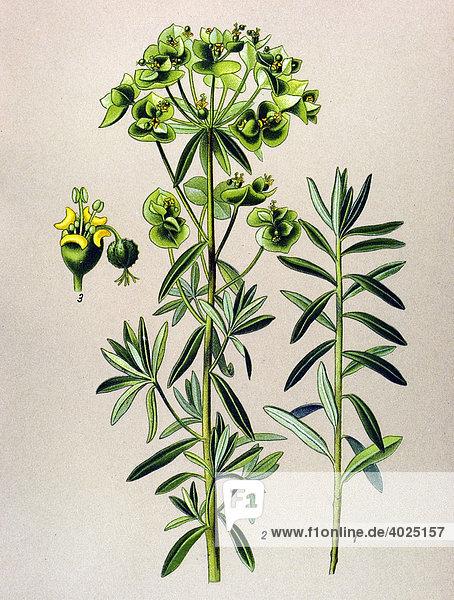 historische illustration garten wolfsmilch euphorbia peplus giftpflanze lizenzpflichtiges. Black Bedroom Furniture Sets. Home Design Ideas