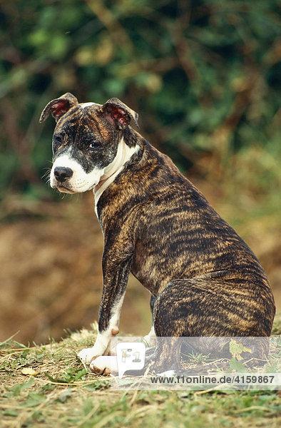 Stafford Terrier Kampfhund