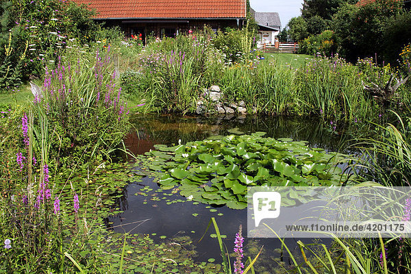naturnaher garten mit gartenteich im sommer weisse seerose nymphaea alba blutweiderich. Black Bedroom Furniture Sets. Home Design Ideas