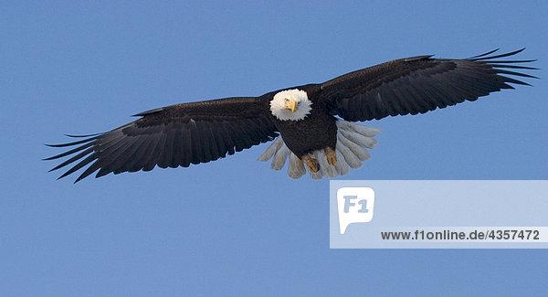 02 position fliegen flug frontal haliaeetus leucocephalus wei kopfseeadler winter - Mobel bald olpe offnungszeiten ...