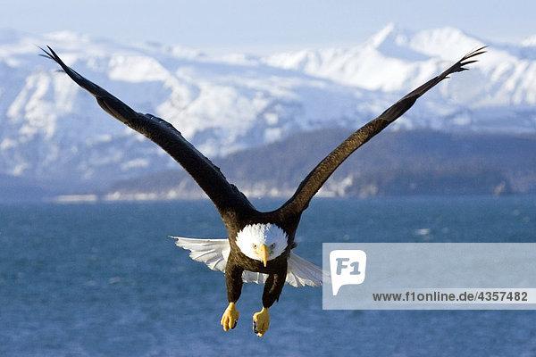Alaska fliegen flug halbinsel haliaeetus leucocephalus in der luft schwebend kenai fjords - Mobel bald olpe offnungszeiten ...