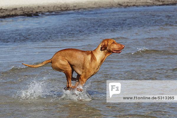 kurzhaar vizsla kurzhaariger ungarischer vorstehhund canis lupus familiaris rennt ins wasser. Black Bedroom Furniture Sets. Home Design Ideas