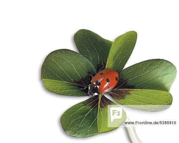 vierbl ttriges kleeblatt mit marienk fer coccinellidae gl ckssymbol lizenzfreies bild. Black Bedroom Furniture Sets. Home Design Ideas