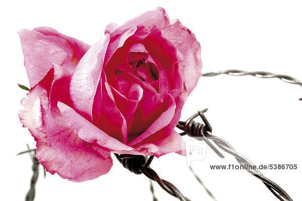 rose rosa mit stacheldraht zitat die sch nsten rosen selbst sind dornig lizenzfreies bild. Black Bedroom Furniture Sets. Home Design Ideas