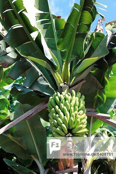Europa ,Baum ,Banane ,Frucht ,Insel ,Madeira ,Portugal