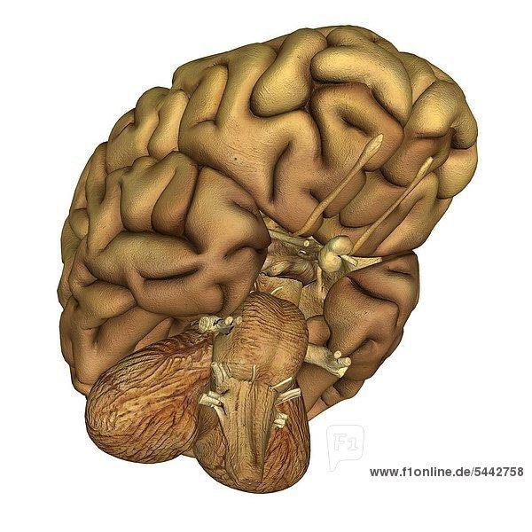 Brain gross anatomy