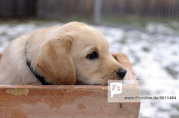 Blonder Labrador Retriever Welpe sitzt in Blumentopf