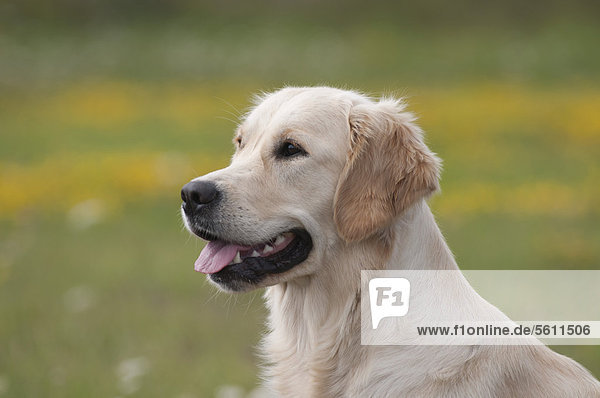 Portrait,Golden Retriever