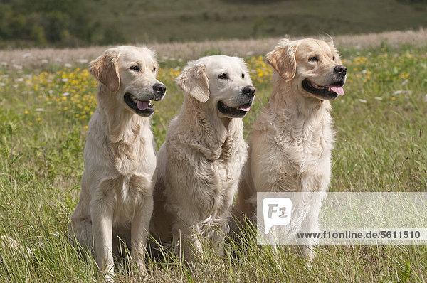 Drei Golden Retriever sitzen auf Wiese