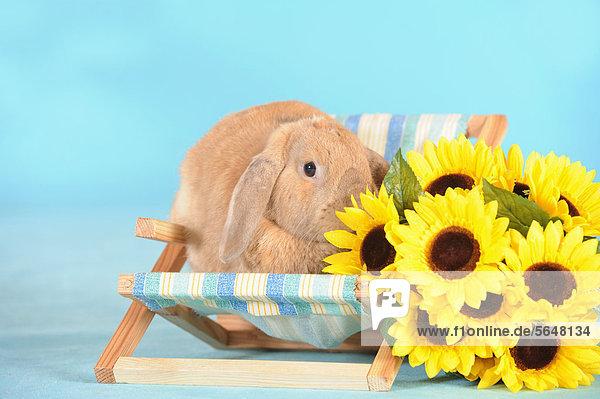 braunes zwergwidderkaninchen sitzt in mini liegestuhl und schnuppert an sonnenblumen. Black Bedroom Furniture Sets. Home Design Ideas