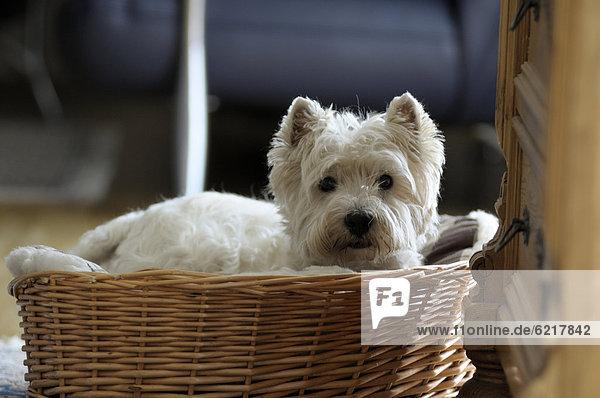 West Highland Terrier liegt im Korb