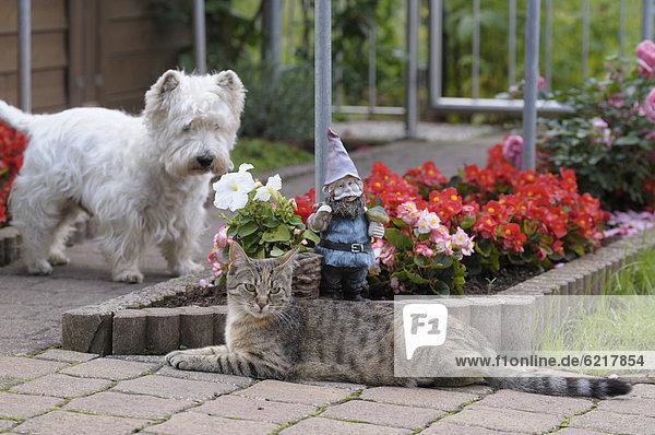 Getigerte Katze liegt im Garten vor Gartenzwerg und Blumenbeet, dahinter ein West Highland Terrier