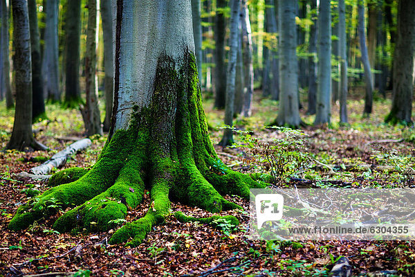 Baum Mit Wurzel