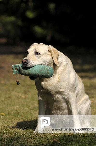 Blonder Labrador Retriever mit Dummy im Fang