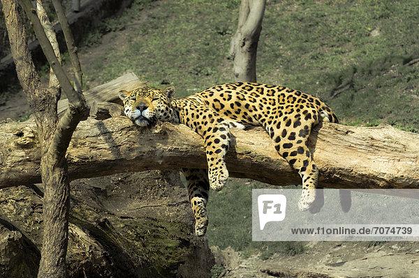 leoparden m nnchen schl ft in seinem gehege zoo salzburg sterreich lizenzpflichtiges bild. Black Bedroom Furniture Sets. Home Design Ideas