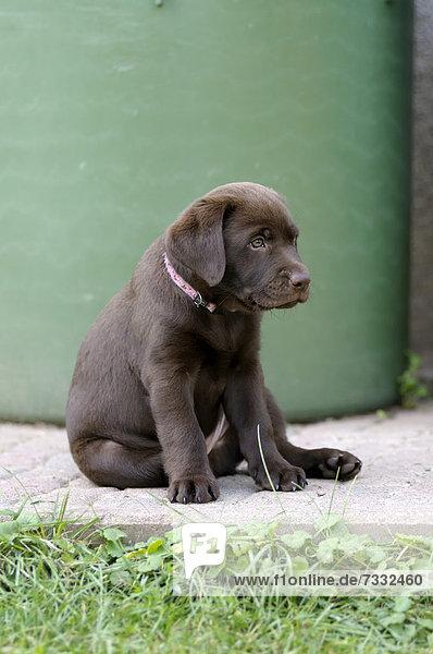 Brauner Labrador Retriever Welpe sitzt vor Regentonne