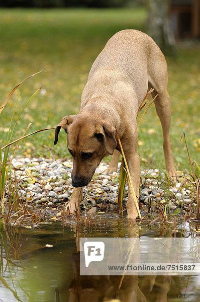 Rhodesian Ridgeback Mix steht an einem Teich und schaut ins Wasser