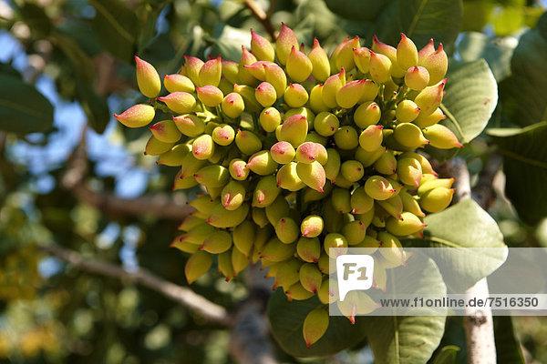 europa griechenland saronische inseln gina frische pistazien wachsen an einem busch. Black Bedroom Furniture Sets. Home Design Ideas