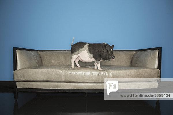 Couch schwarz schwein stehend wei lizenzpflichtiges for Suche gebrauchte couch