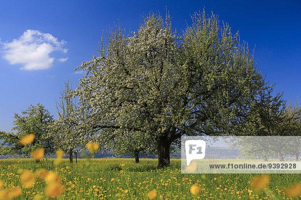apfel apfelbaum baum bl te botanik feld frucht gelb gr n kanton z rich landschaft landwirtschaft. Black Bedroom Furniture Sets. Home Design Ideas