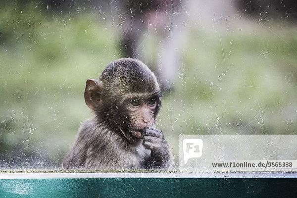 sehen,Fenster,blättern,jung,Affe