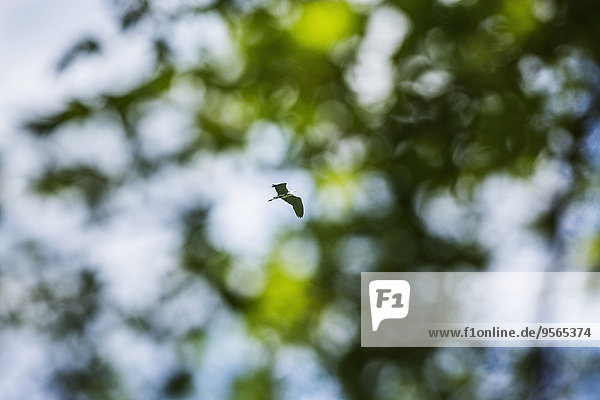 niedrig,fliegen,fliegt,fliegend,Flug,Flüge,Baum,Vogel,Ansicht,Flachwinkelansicht,Winkel