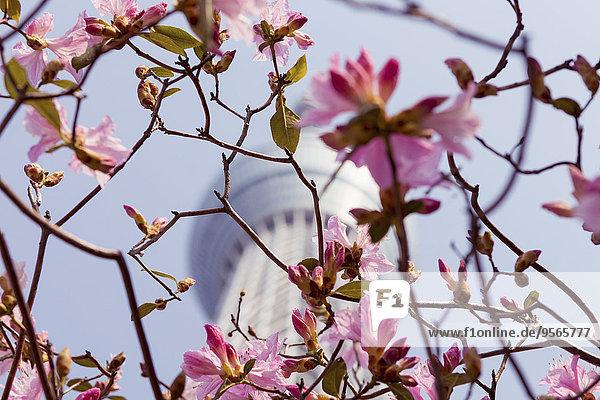 niedrig,Tokyo,Hauptstadt,Kirsche,Blüte,Ast,Ansicht,Flachwinkelansicht,Winkel