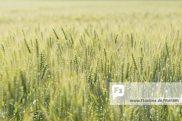 Fokus,Nutzpflanze,Wachstum,Feld,auswählen