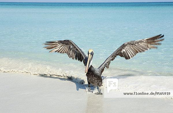 nehmen,Küste,Pelikan
