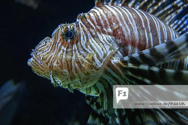 Rotfeuerfisch,Pterois volitans,schwarz,Hintergrund,Close-up,close-ups,close up,close ups