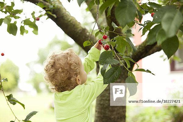 Baum,klein,Kirsche,aufheben,Mädchen