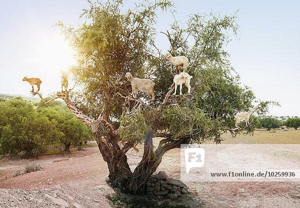 Baum,Ast,Ziege,Capra aegagrus hircus,Vogelschwarm,Vogelschar