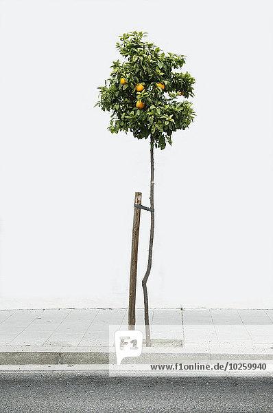 Baum,Weg,Zitrusfrucht,Zitrone