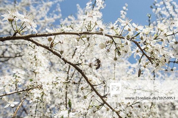 Blume,Kirsche,Blüte,Biene