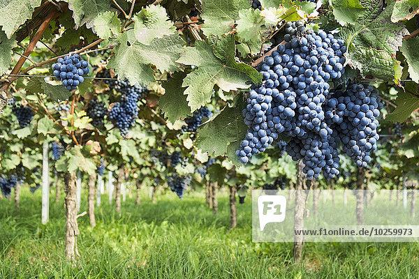Wachstum,Weintraube,Weinberg